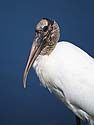 Wood Stork by a pond behind a shopping center, somewhere in Florida.