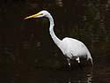 Egret, Ding Darling NWR, Sanibel Island, Florida.