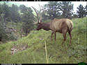 Elk on trail camera, Wind Cave National Park, South Dakota, August 8, 2013.