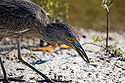 Yellow-crowned night heron (juvenile) catching little crabs, Ding Darling National Wildlife Refuge, Sanibel Island, Florida.