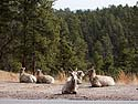 Bighorn ewes lounging by the side of the highway, Custer State Park, South Dakota.