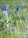 Mountain Bluebird, Red Lodge, MT, June 2013.