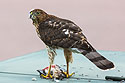 Cooper´s Hawk dining on some other bird on the electrical box in front of my house, September 2013.
