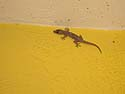 I found this little gecko inhabiting the balcony area of my hotel room in Miami.  Fortunately he stayed outside.