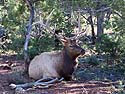 Bull elk hanging around the visitor�s center at Grand Canyon National Park, October 2013.