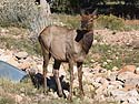 Elk near the visitor�s center at Grand Canyon National Park, October 2013.
