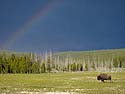 Bison and rainbow, Yellowstone, June 2013.