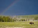 Bison and rainbow, Yellowstone, June 2013.