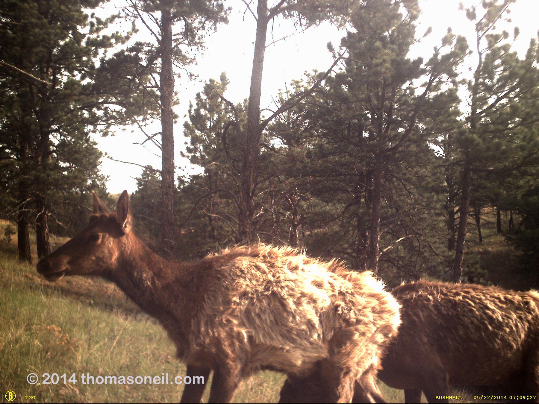 Elk on old Bushnell trailcam, Wind Cave National Park.  The Bushnell was retired after this.
