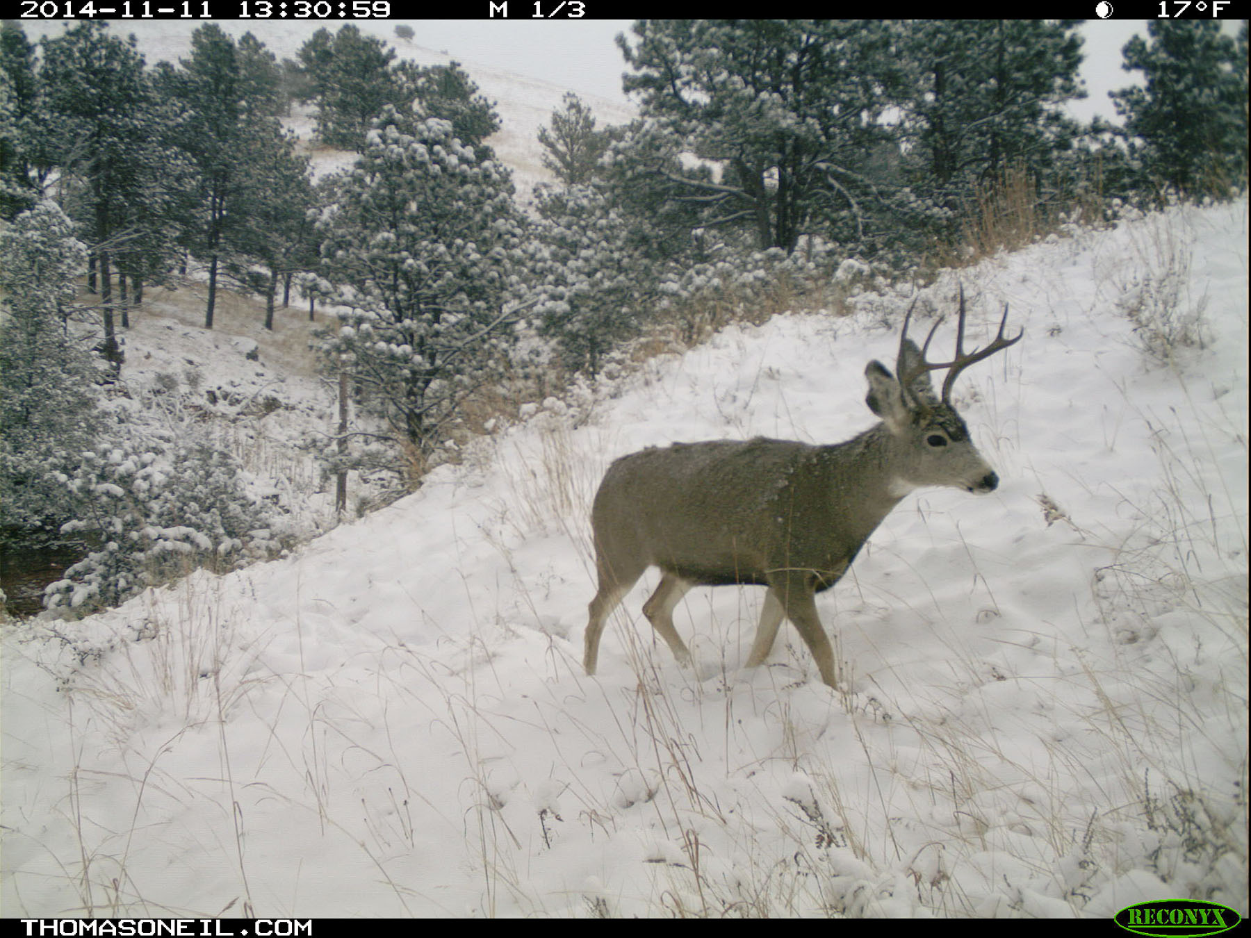 Deer on trailcam, Custer State Park, November 2014.