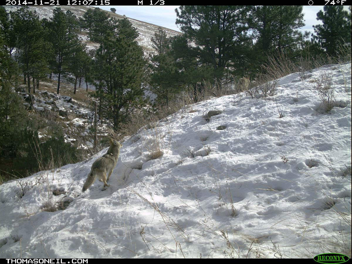 Second coyote chasing the first (still visible) on trailcam, Custer State Park, November 2014.