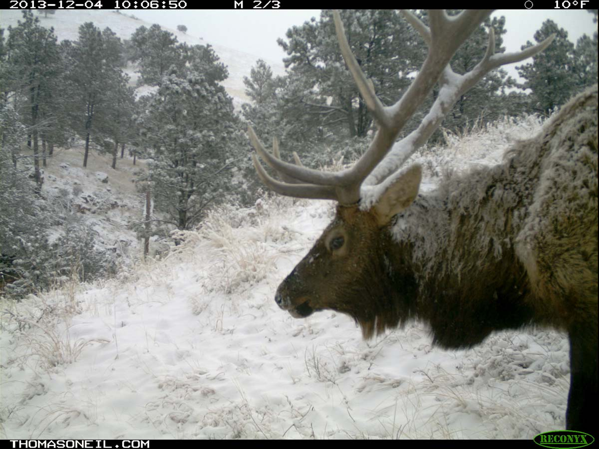 Elk on trail camera, Wind Cave National Park, South Dakota, Dec. 4, 2013.