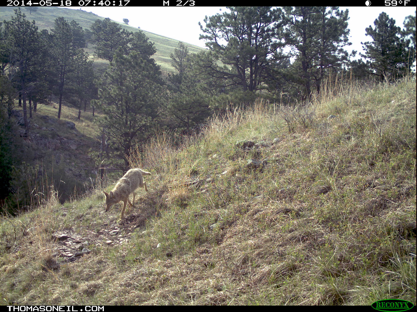 Coyote on Reconyx trailcam, Wind Cave National Park.
