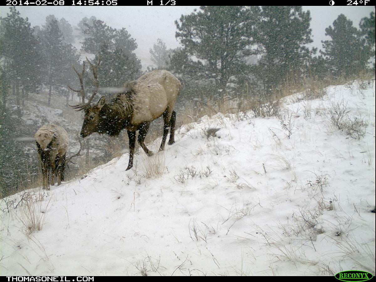 Elk on trail camera, Wind Cave National Park, South Dakota, Feb. 8, 2014.
