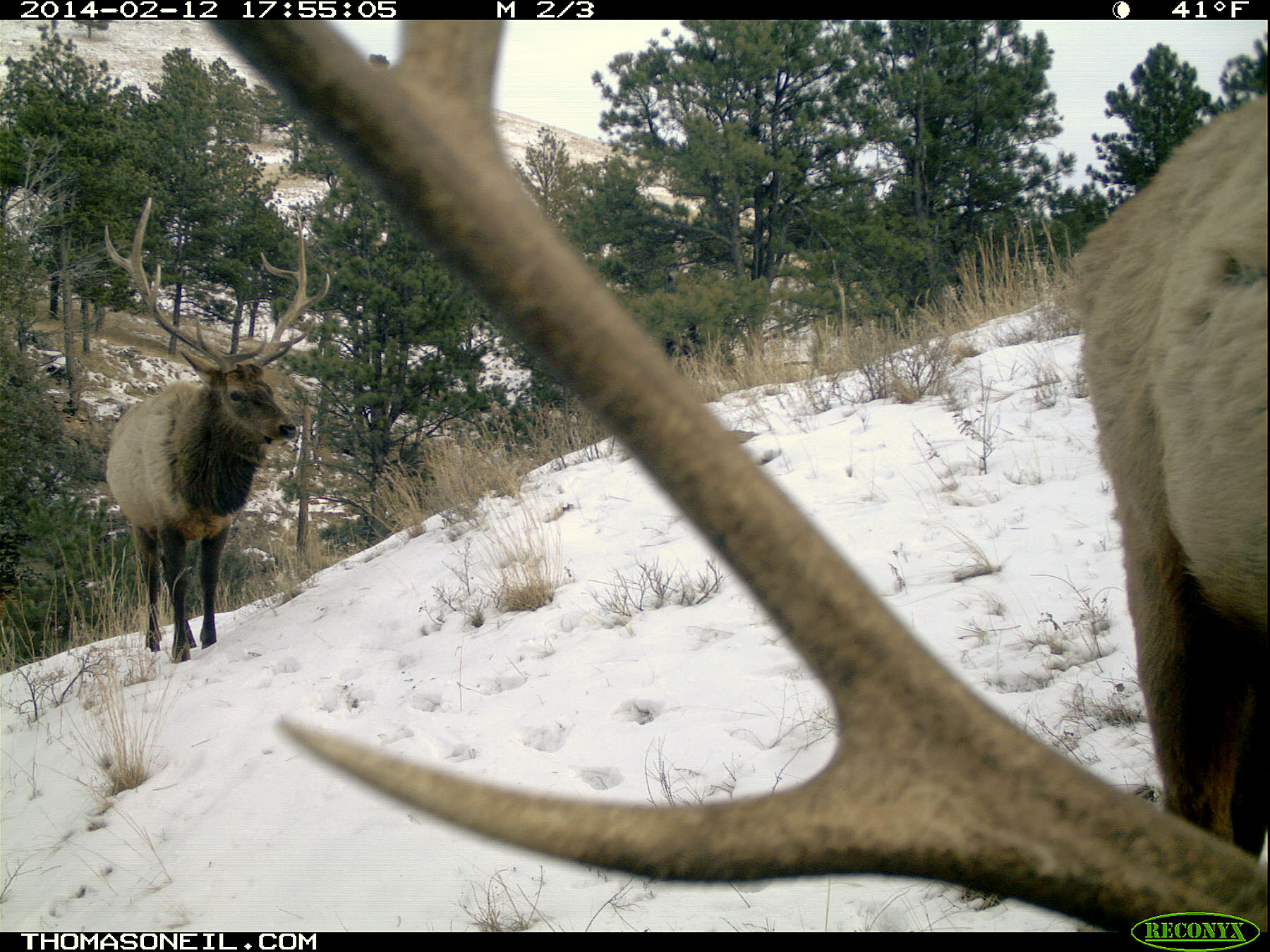 Elk on trail camera, Wind Cave National Park, South Dakota, Feb. 12, 2014.
