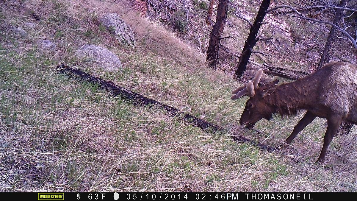 Elk on Moultrie trailcam, Wind Cave National Park.  The image is crooked due to the elk in the previous image knocking the camera askew.