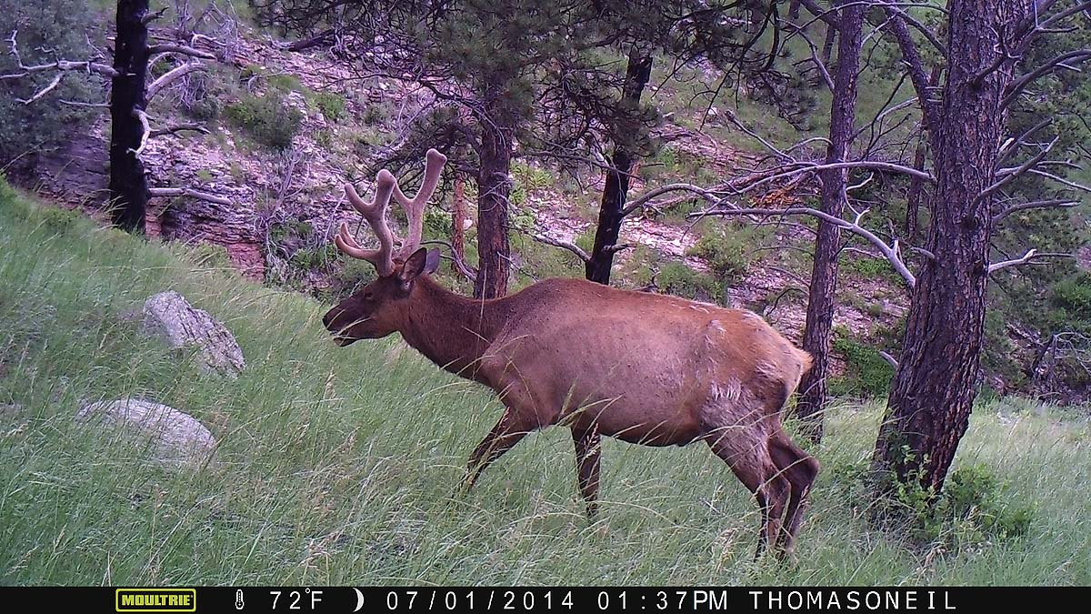 Elk on Moultrie trailcam, Wind Cave National Park.