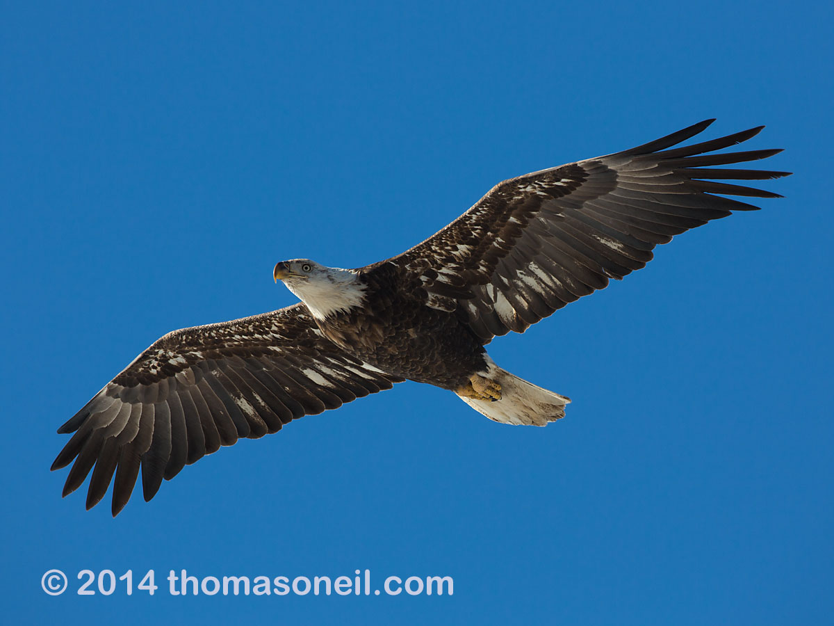 Bald eagle (juvenile), Lock and Dam 18 on the Mississippi River in Illinois, January 2014.  Click for next photo.