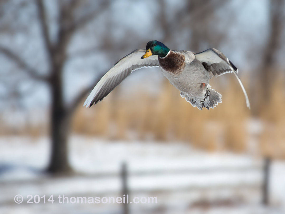 Duck in flight, Arrowhead Park, Sioux Falls, SD, March 2, 2014.  Click for next photo.