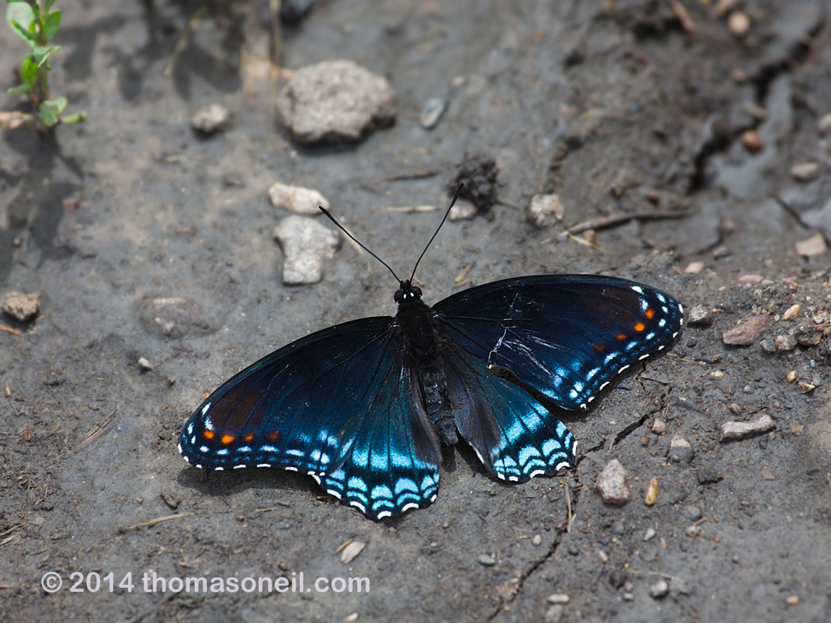 Butterfly, Newton Hills State Park, SD, June 2014.  Click for next photo.