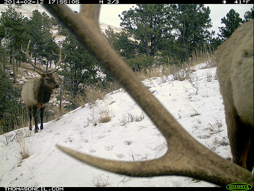 Elk on trail camera, Wind Cave National Park, South Dakota, Feb. 12, 2014.  Click for next photo.