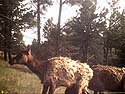 Elk on old Bushnell trailcam, Wind Cave National Park.