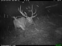Elk on trail camera, Wind Cave National Park, South Dakota, Dec. 3, 2013.