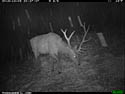 Elk on trail camera, Wind Cave National Park, South Dakota, Dec. 3, 2013.