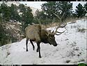 Elk on trail camera, Wind Cave National Park, South Dakota, Feb. 12, 2014.
