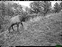 Elk on trail camera, Wind Cave National Park, South Dakota, Feb. 21, 2014.