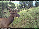 Elk on Reconyx trailcam, Wind Cave National Park.