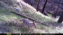 Coyote on Moultrie trailcam, Wind Cave National Park.