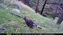 Turkey on Moultrie trailcam, Wind Cave National Park.