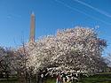 Cherry Blossom Festival, Washington, DC, April 2014.
