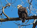 Bald eagle (juvenile), Lock and Dam 18 on the Mississippi River in Illinois, January 2014.