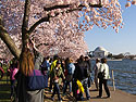 Cherry Blossom Festival at the Tidal Basin, looking across to the Jefferson Memorial, Washington, DC, April 2014.