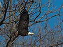 Bald eagle with fish, Lock and Dam 18 on the Mississippi River in Illinois, January 2014.