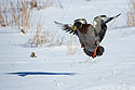 Duck landing, Arrowhead Park, Sioux Falls, March 2014.