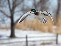Duck in flight, Arrowhead Park, Sioux Falls, SD, March 2, 2014.