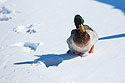 Duck struggling through the snow, Arrowhead Park, Sioux Falls, SD, March 2, 2014.