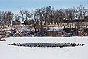 Ducks and geese huddle around a patch of open water, Arrowhead Park, Sioux Falls, SD, March 2, 2014.  The temperature was 0 degrees Fahrenheit.