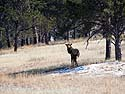 While hiking to my trail camera, I saw this elk off in the distance, Wind Cave National Park, South Dakota, April 2014.