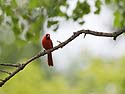 Cardinal, Newton Hills State Park, SD, June 2014.