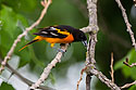 Baltimore Oriole, Newton Hills State Park, SD, June 2014.