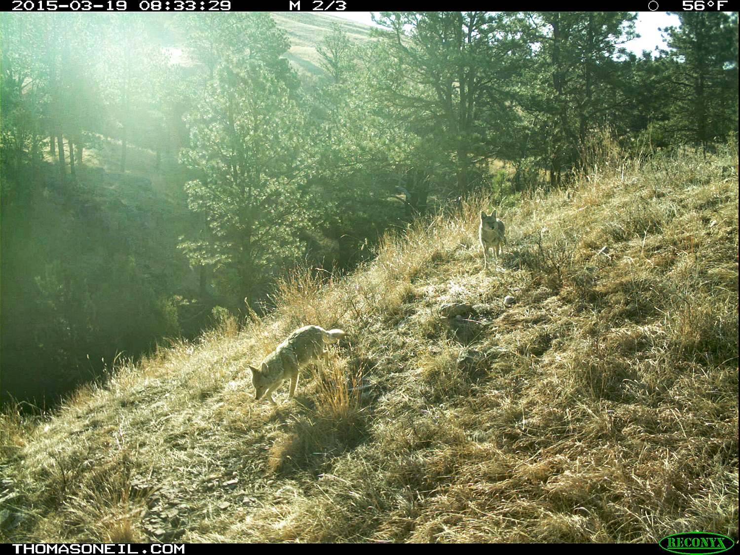 Two coyotes on trailcam, Wind Cave National Park, March 2015,   Click for next photo.