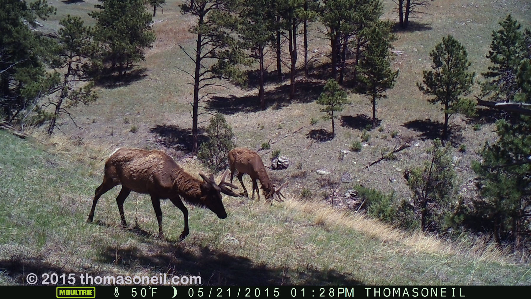 Two elk on trailcam, Wind Cave National Park, May 2015,
