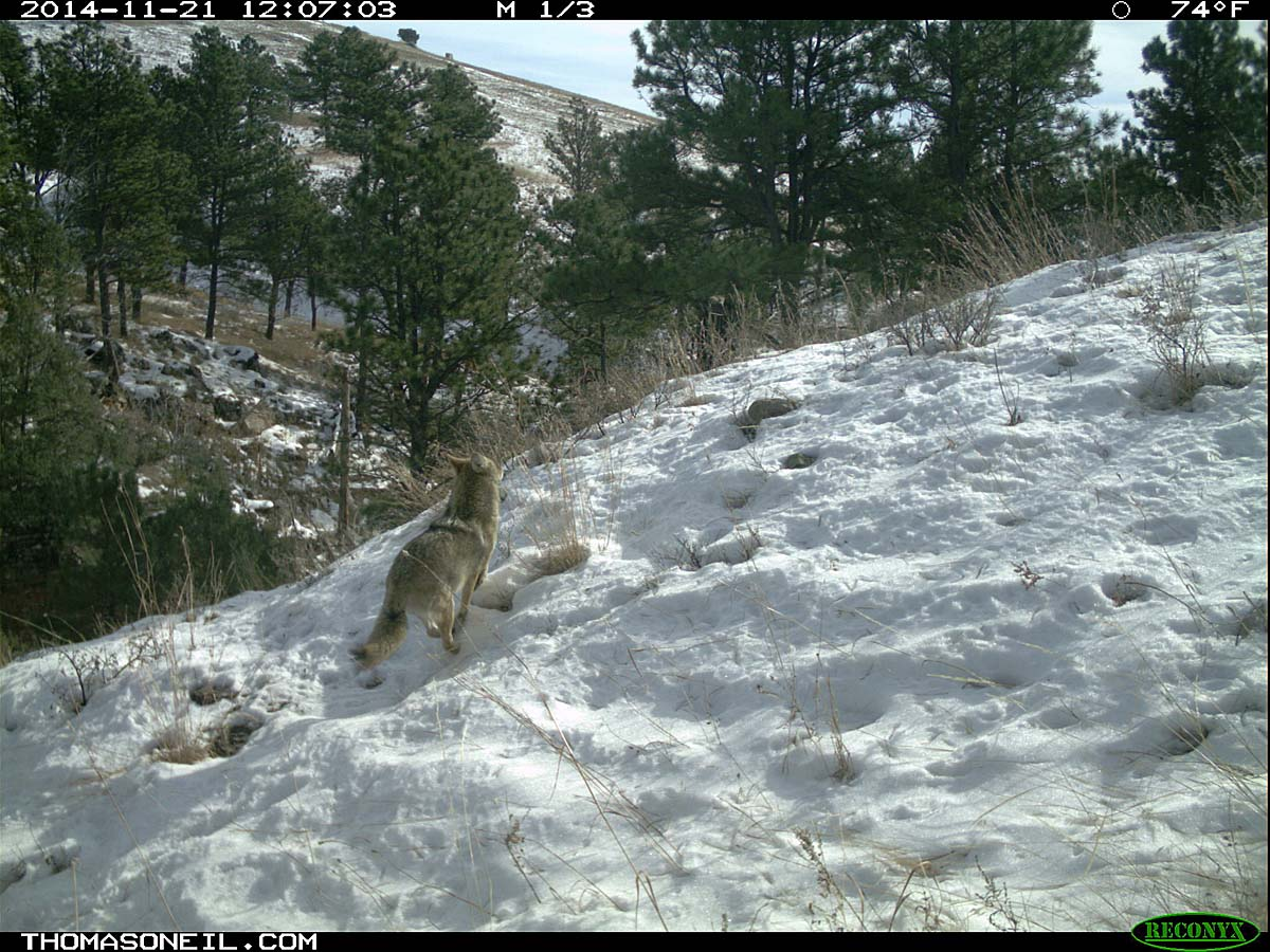 Coyote running on trailcam, Custer State Park, November 2014.