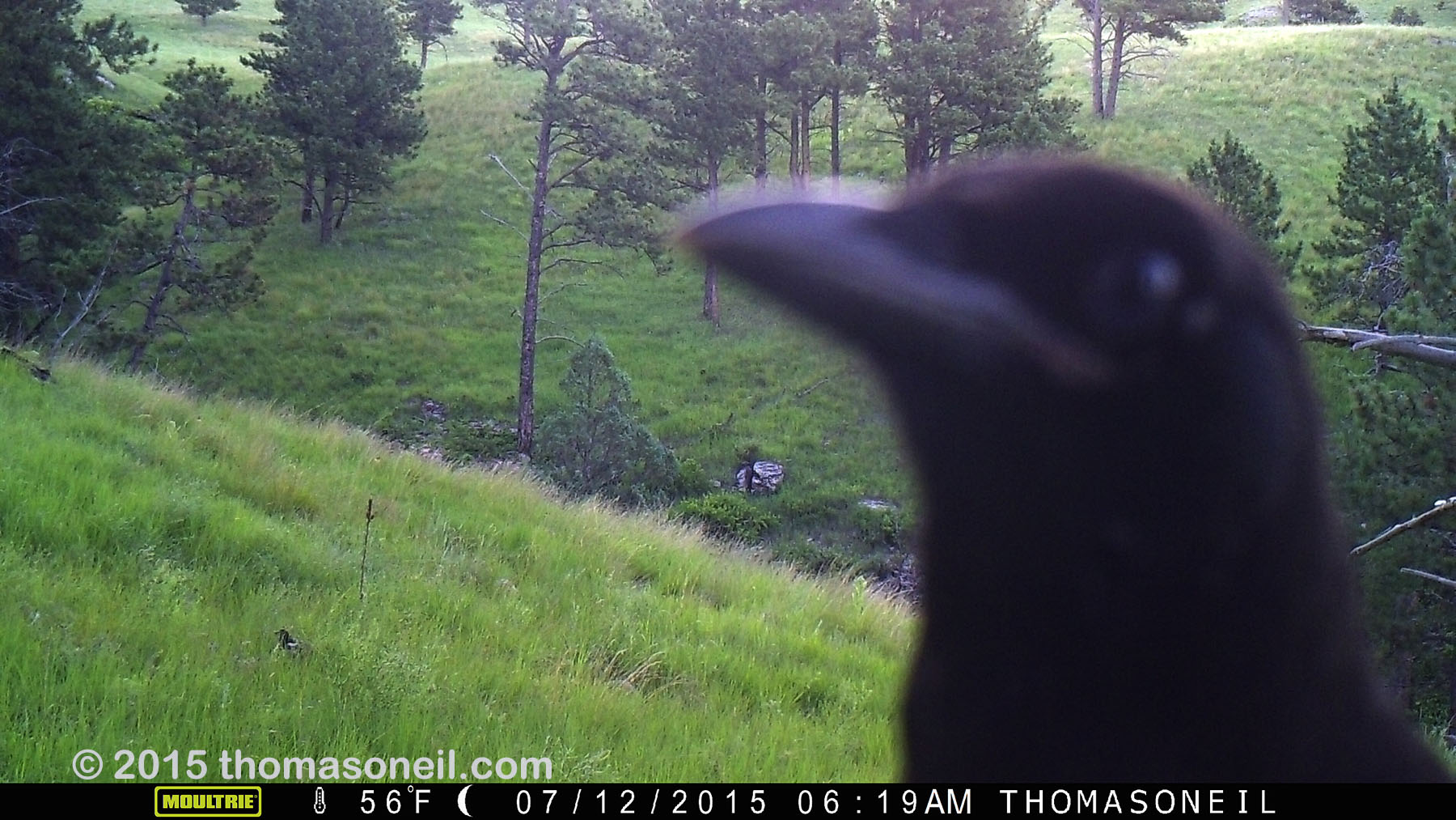 Raven getting up close with trailcam, Wind Cave National Park, July 2015,