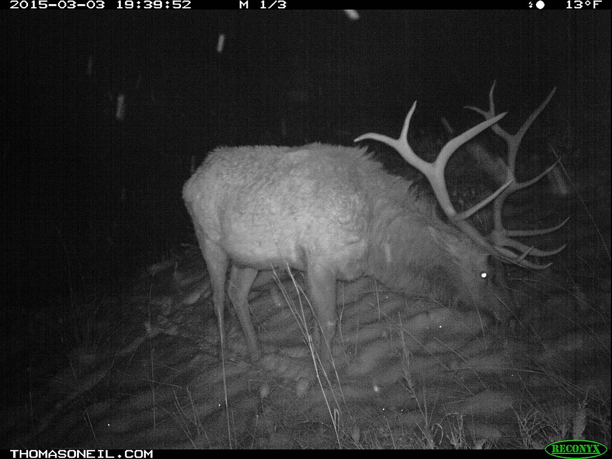 Elk on trailcam, Custer State Park, March 2015.