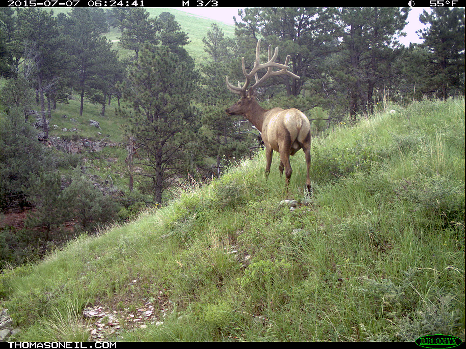 Elk scratching sequence on trailcam, 1 of 7, Wind Cave National Park, July 2015,